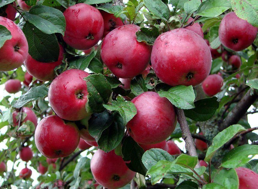 тогда яблоня данила описание фото выглядела сейчас свежей